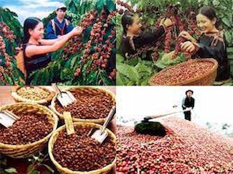 Hình ảnh thu hoạch cà phê